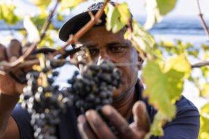 wine-picker